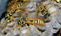 wasp nest infestations need attention in summer months